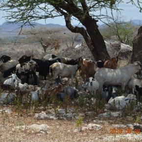 Where numbers matter: Better herd management for better productivity in Kenya's pastoral communities