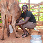 From grass to glass, knowledge to upgrade: How village-based dairy advisors are transforming smallholder systems in Kenya