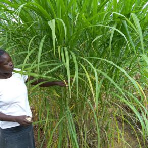 Cash Crop: Women Farmers in Kenya Beat Drought with Native Grass