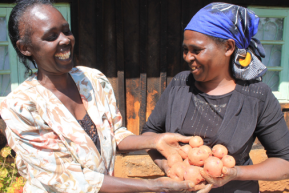 Creating access rekindles dreams of a brighter future:  Clean seed potato improvesproductivity
