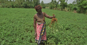 Fighting hunger and poverty through  climate smart crops