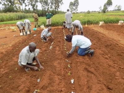 Prisoners transplanting rooted cuttings (September 2017) potato plot (June 2018)