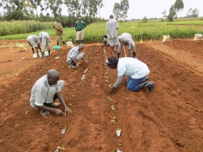 Prisoners transplanting rooted cuttings (September 2017) potato plot (June 2018)