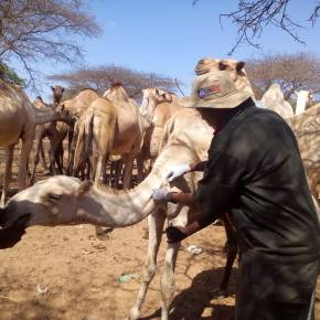 Can the private sector deliver livestock vaccines in Kenya? Yes, they can