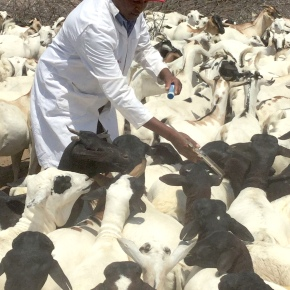 The private sector can deliver veterinary vaccines in Kenya