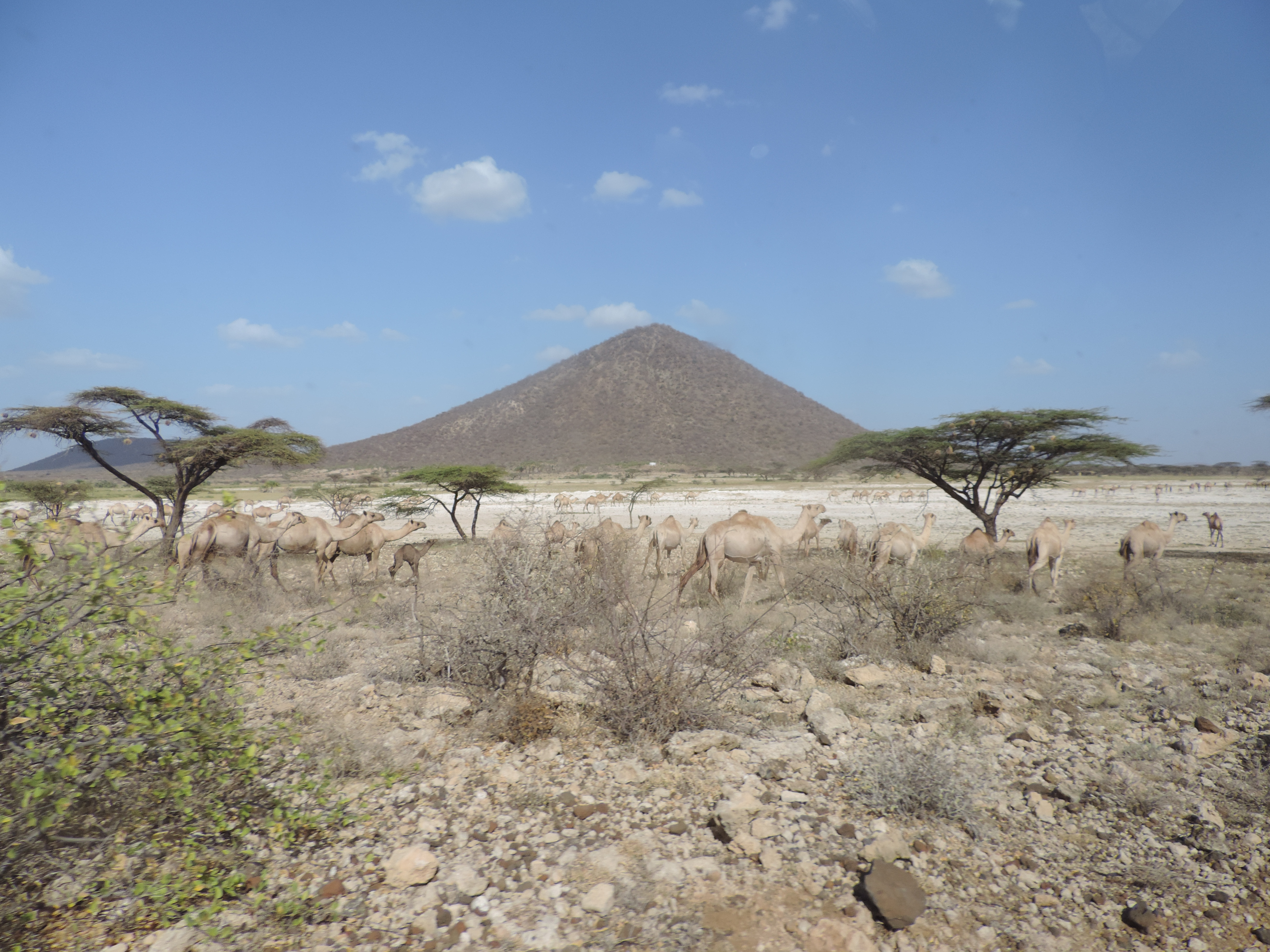 Camels in Isiolo County (photo credit AVCD/Muthoni Njiru).